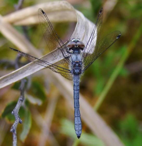Elfin Skimmer - Nannothemis bella - male