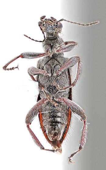 Anthicidae - Retocomus duboisi
