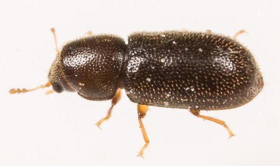 Beetle - female