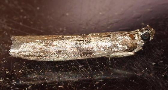 Micro Moth 1