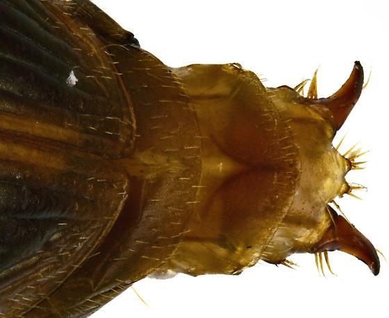 Female, Selenophorus - Selenophorus sinuaticollis - female
