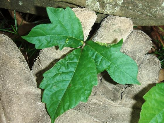 Poison Ivy Leaf Gall Mite - Aculops rhois