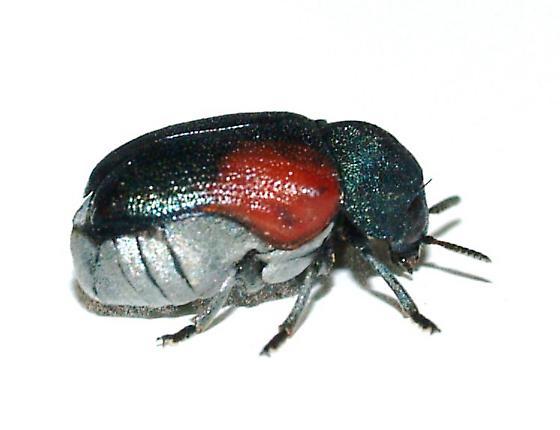 Clytrini - Saxinis sonorensis