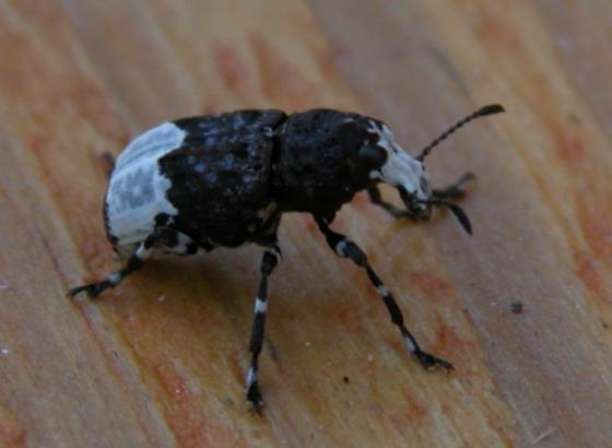 Help me identify this beetle - Eurymycter fasciatus