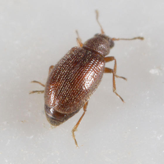 Tiny brown weevil