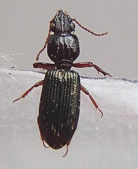 Beetle - Schizogenius lineolatus - female