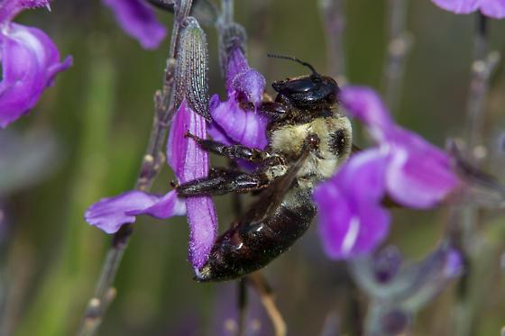 bumblebee species - Xylocopa virginica