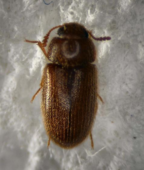 Cryptophagidae ? - Typhaea stercorea