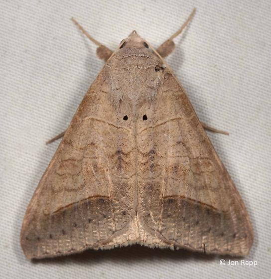 Withered Mocis Moth - Mocis marcida