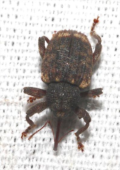 Weevil with rough pronotum - Conotrachelus
