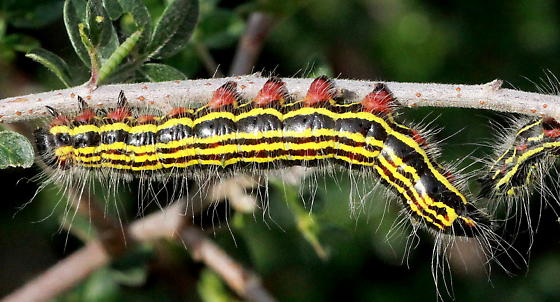 Black  Moth Caterpillar with Yellow Stripes and Red Legs - Datana