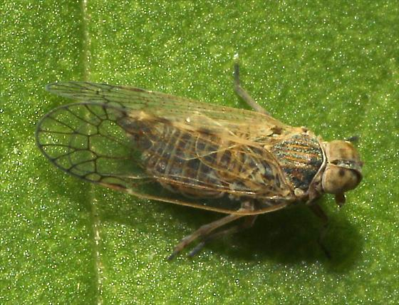 Cixiid Planthopper - Oecleus