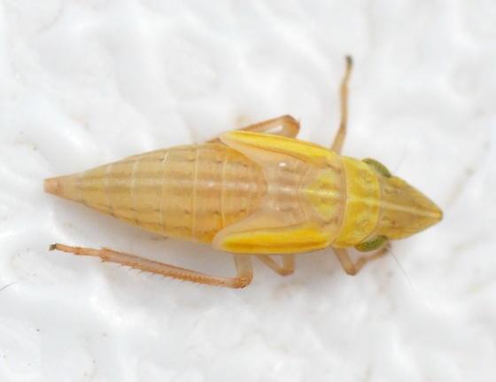 Sharpshooter nymph? - Draeculacephala
