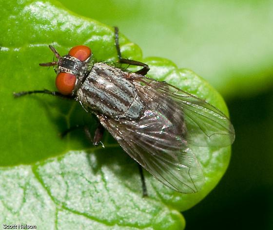 Flesh Fly - Ravinia - female