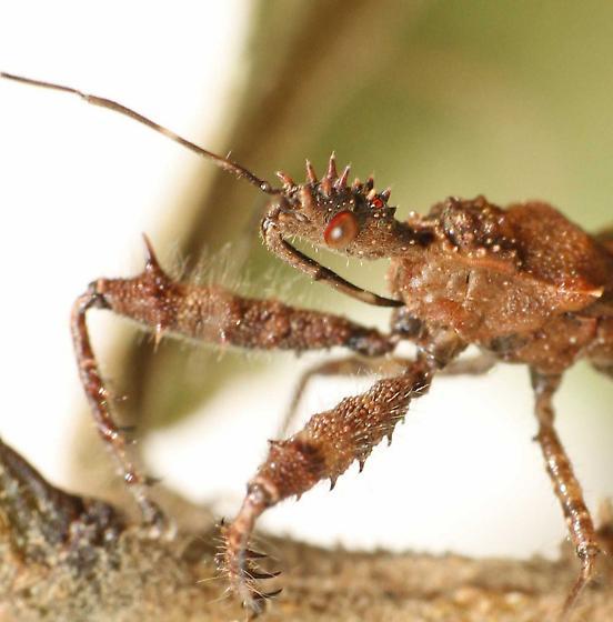 Assassin bug - Sinea sp. - Sinea
