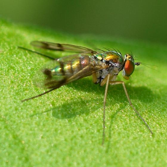fly - Condylostylus
