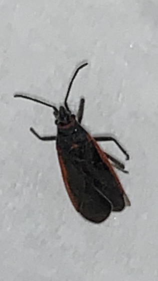 Kissing Bug? Or lookalike? Have symptoms, physician unable to know why eye was swollen. Found this dead bug on my windowsill.