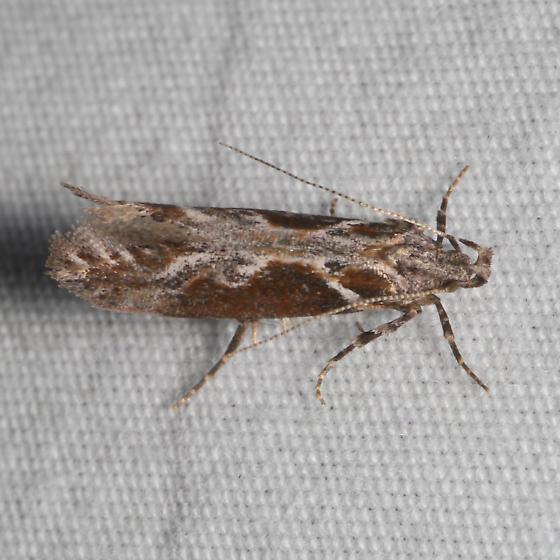 1977 Gnorimoschema compsomorpha - Gnorimoschema compsomorpha