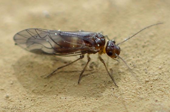 Elipsocus - E. hyalinus teneral? - Elipsocus hyalinus - female