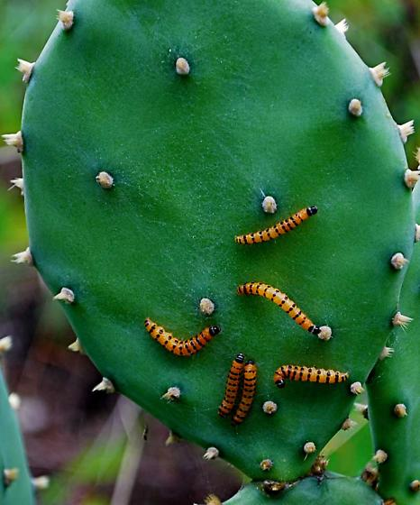 Caterpillars on Prickly Pear Cactus - Cactoblastis cactorum