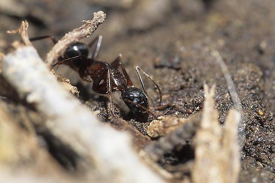 Carpenter Ant - Camponotus vicinus