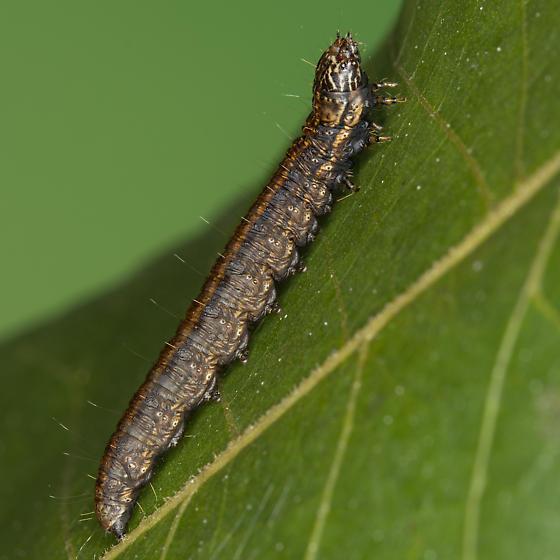 Pococera subcanalis