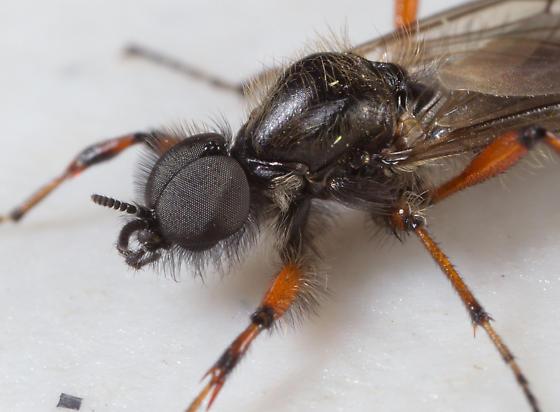 Wasp ? - Bibio xanthopus - male