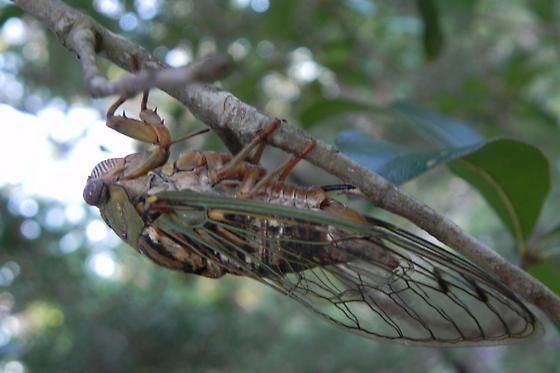 TX - Cicada  - Megatibicen resh - female