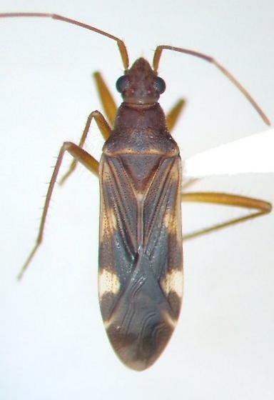 Ozophora trinotata