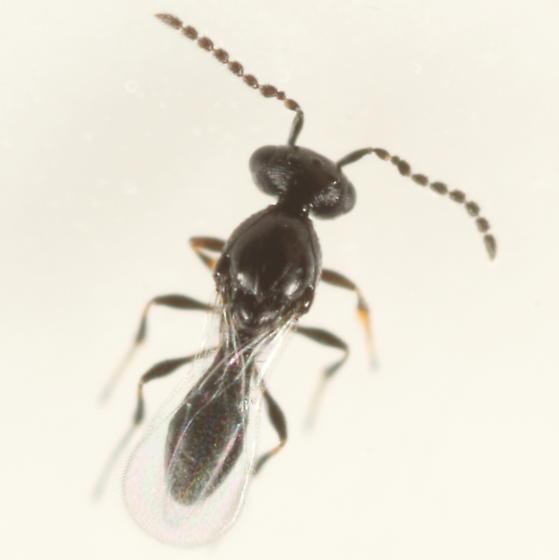 Platygastrid ex Dasineura salicifoliae - Platygaster - male