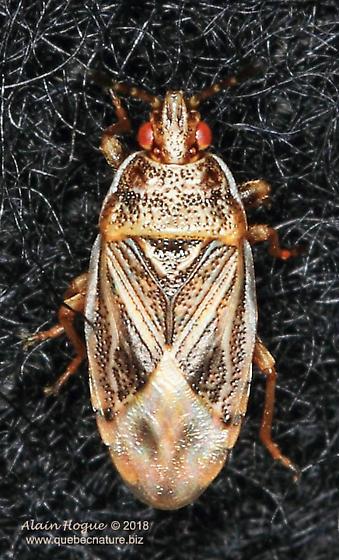 Cimicomorpha - Chilacis typhae