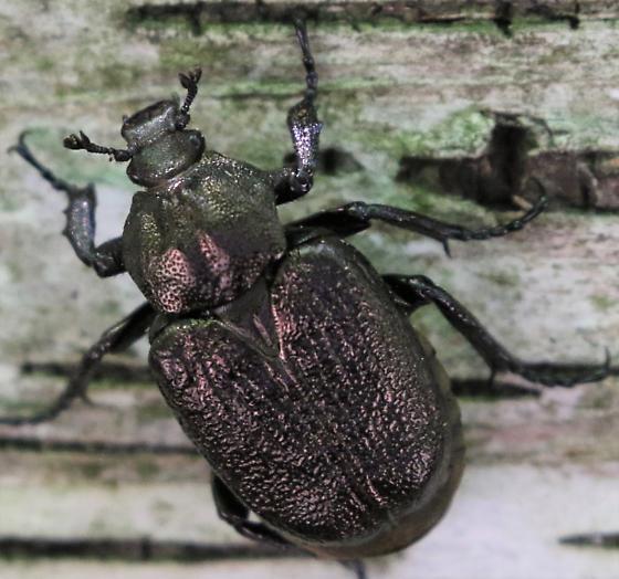 Unknown Beetle - Osmoderma scabra