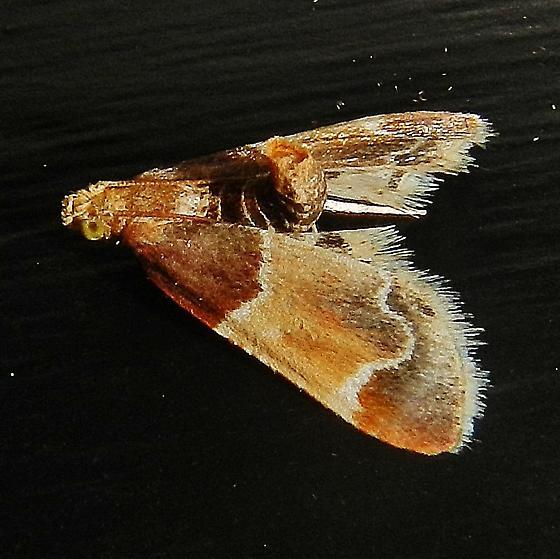 For confirmation: Pyralis farinalis  - Pyralis farinalis