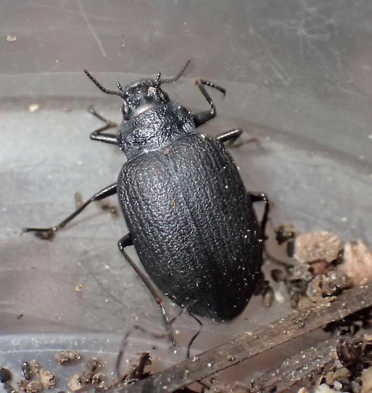 Beetle - Amphizoa insolens