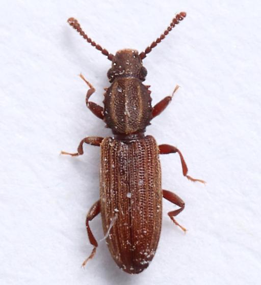 Kitchen Drawer Beetle - Oryzaephilus