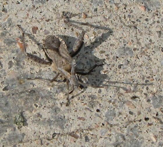 Broadheaded Bug - Stachyocnemus apicalis