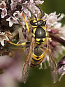 Wasp ID #1 - Vespula germanica