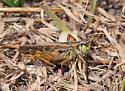 Clear-winged Grasshopper - Camnula pellucida - male