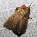 maybe Ursula Wainscot - Leucania ursula 10461 - Leucania ursula