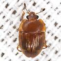 Strawberry Sap Beetle - Stelidota geminata
