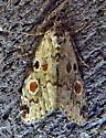 Maliattha concinnimacula - Red-spotted Maliattha - Hodges#9050 - Maliattha concinnimacula