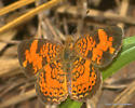small butterfly - Phyciodes tharos - male