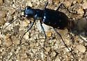 Blue Tiger Beetle - Cicindelidia rufiventris