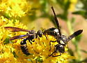 Two wasp spp. - Cerceris fumipennis