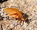 Lycus loripes or sumulans? - Lycus simulans - male - female