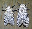 Giant Leopard Moth - Hypercompe scribonia - male - female