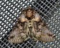 Please help me to identify this moth. - Abrostola microvalis