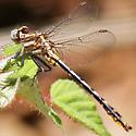 Lancet Clubtail - Phanogomphus exilis - male