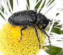 weevil - unident - Larinus turbinatus