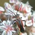 ID for a bug on buckwheat? - Lopidea marginata